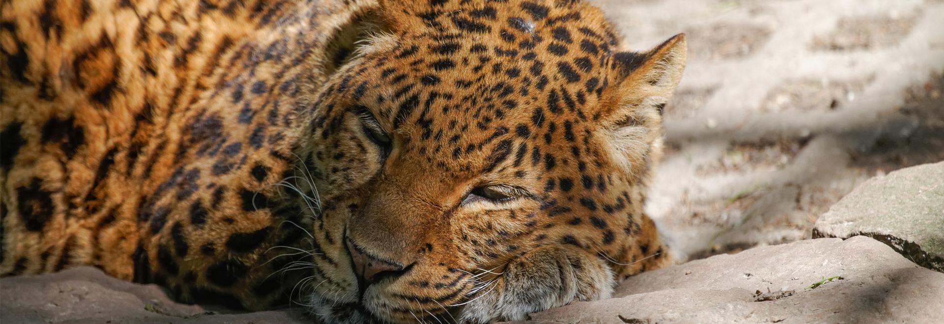 Tierpark Gotha Leopard ©B. Seydel