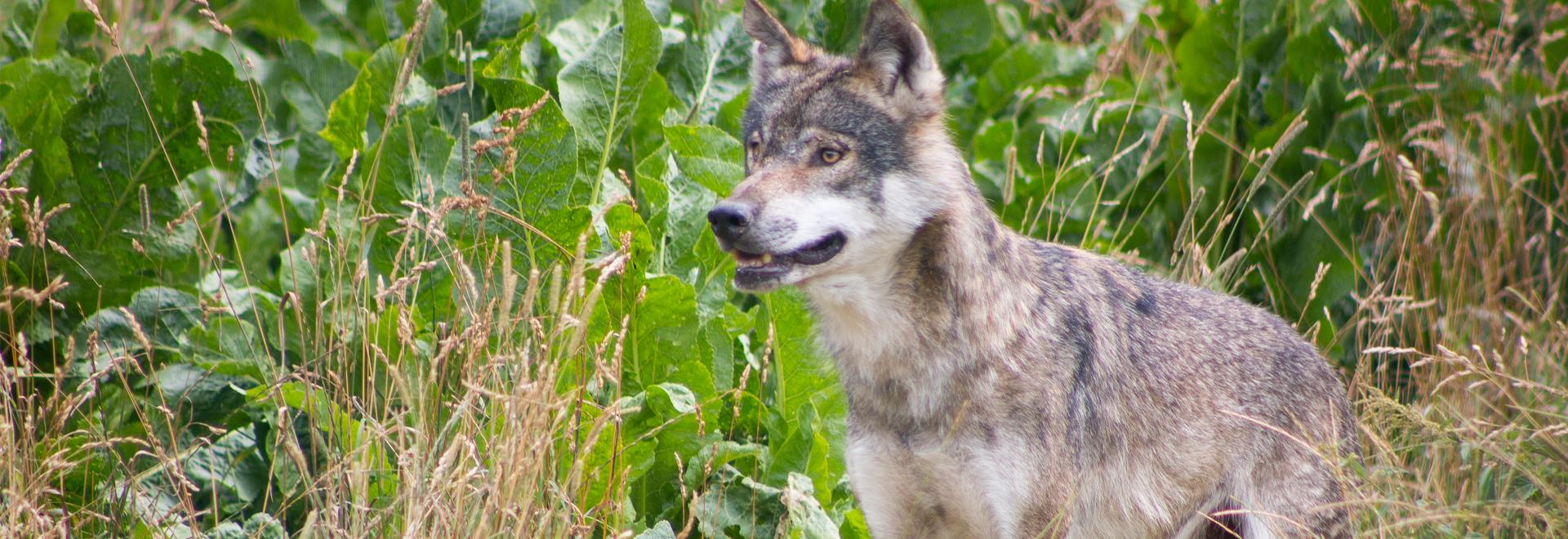 Tierpark Gotha Wolf ©T. Seyfarth